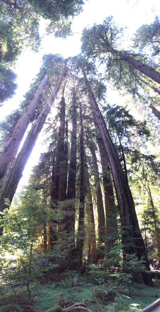 CA Muir Woods Redwoods: 500 years young and STILL Dreaming that they can reach the Sky
