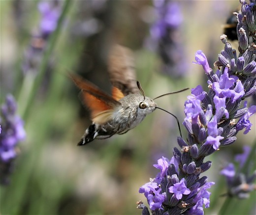 The hummingbird hawk moth has much to teach us about survival.