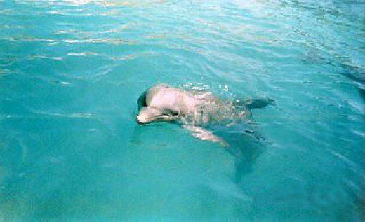 Nassau, St. Maarten and several other islands have dolphin encounter parks. © Scott Bateman