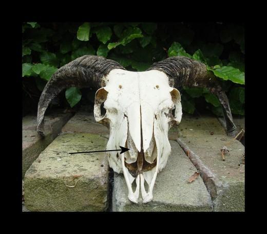 Nostrals of the Ewe