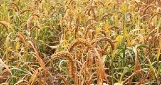Millet farm