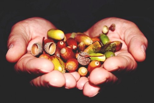 Hands holding green and mature acorns.