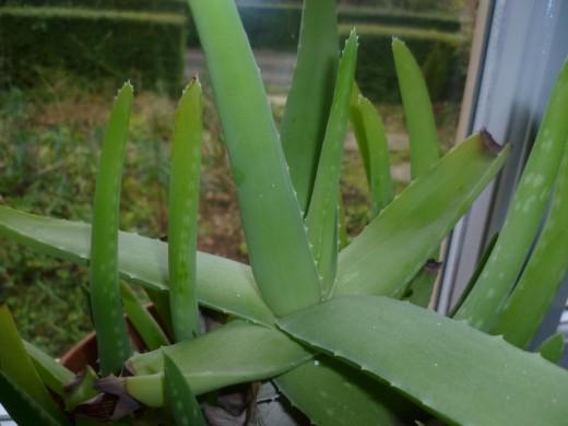 My Kitchen Aloe