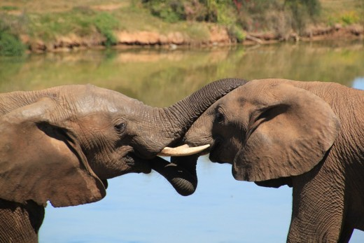Elephants are very altruistic animals and show compassion and generosity to other species, too.