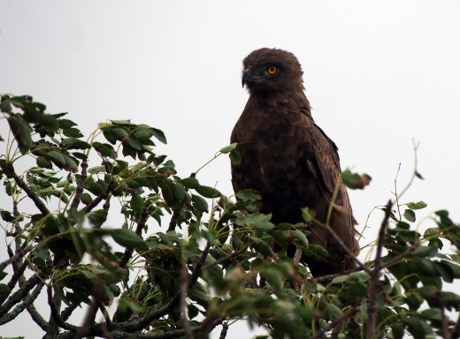 A brown snake eagle Circaetus cinereus searches for prey. Photo: Di Robinson