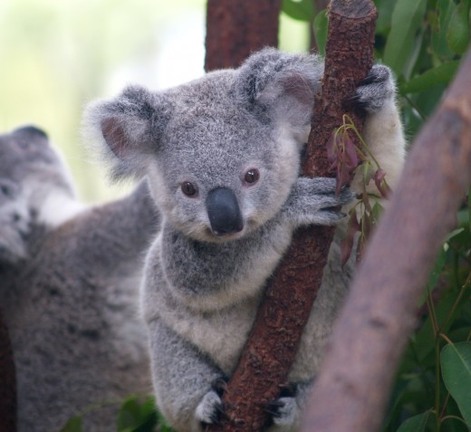 If the koala is your spirit guide, you will have much peace and relaxation in your near future.