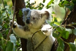The koala is featured in Aboriginal dreamtime stories dating back thousands of years.