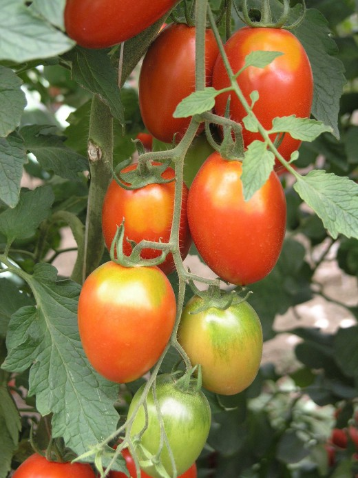 Globular, Roma and cherry tomatoes have high yields and are a good choice for home gardens