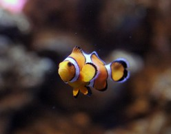 The Most Popular Clownfish in the hobby.