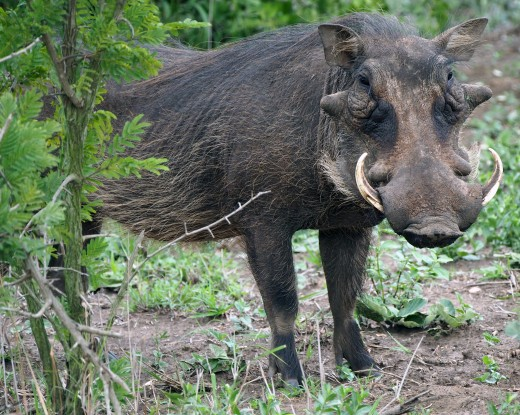 The African warthog Phacochoerus africanus seen here in Hluhluwe-Imfolozi National Park has poor eyesight but excellent hearing, and can use its impressive tusks to defend itself. Photo: Di Robinson
