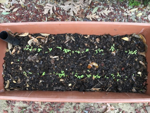 EarthBox container with lettuce seedlings emerging