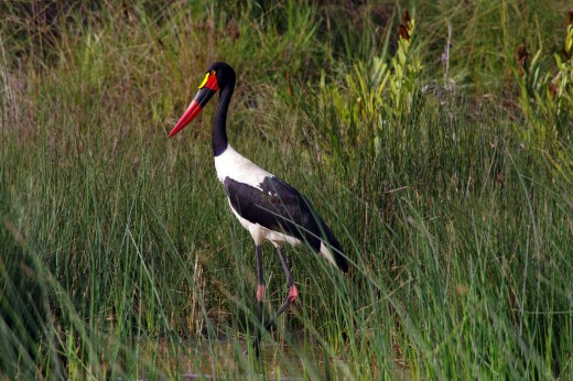 The saddle-billed stork Ephippiorhynchus senegalensis frequents the grasslands at the estuary's edge. Photo: Matt Feierabend