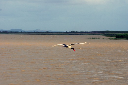 A saddle-billed stork flies past basking hippos in the estuary on his way home. Photo: Matt Feierabend
