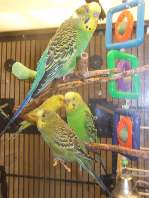 Rescuer and rescued parakeets in the news this week- Photo by George Sommers