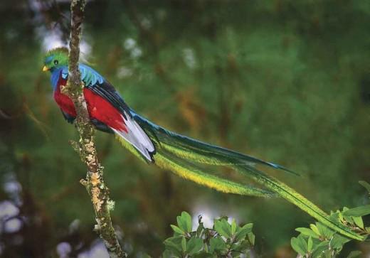 پرنده زیبا Quetzal