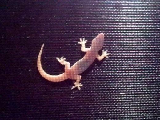 Chubby gecko on screen door