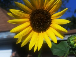 Brilliant Sunflower