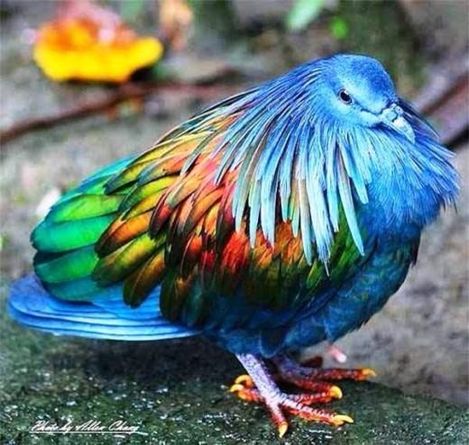 کبوتران زیبا Nicobar pigeon