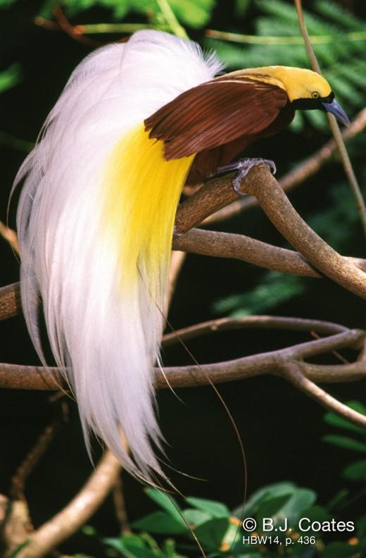 زیباترین پرندگان Lesser bird of paradise