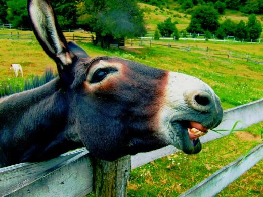 Equus africanus asinus, the domesticated African wild ass.