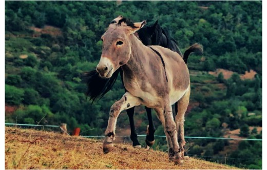 The donkey who would be a horse.