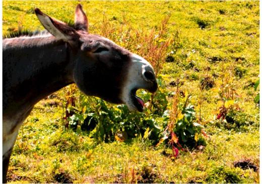 The donkey's shenanigans backfire.