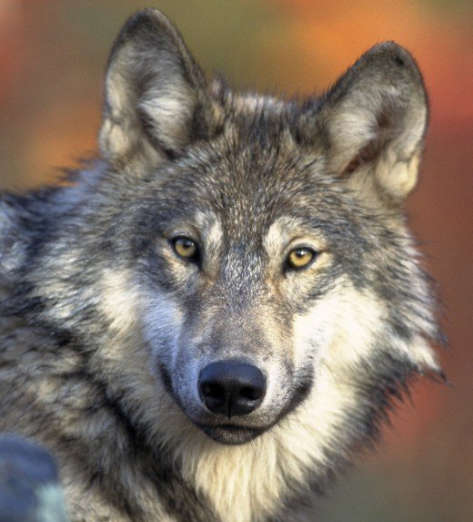 Wolf  Public Domain image from Wikipedia