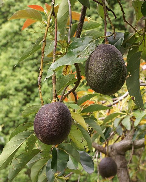 Avocado tree (Persea americana)