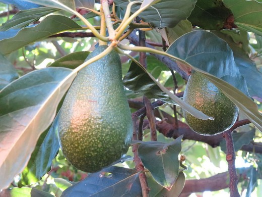 A pair of avocados growing on a tree