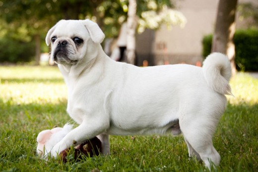 Beautiful white pug playing in the summer.