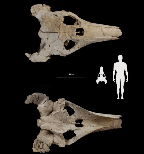 Ocepechelon skull and size, by N Bardet et al.