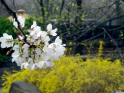 Exploring NYC: Spring Flowers in Central Park