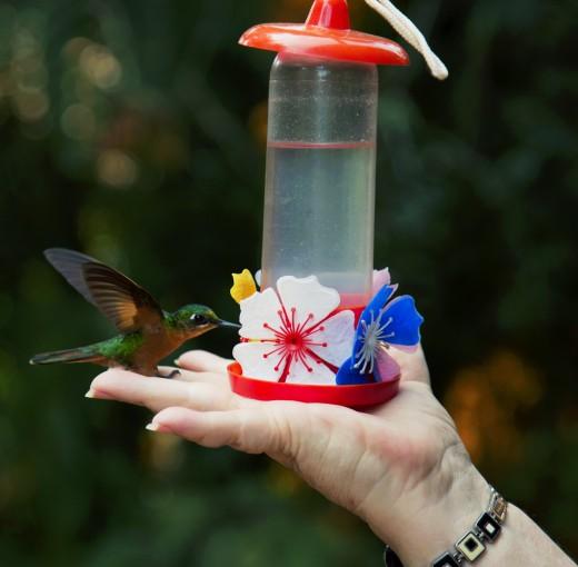 Unlike other birds, hummingbirds are unafraid of humans.
