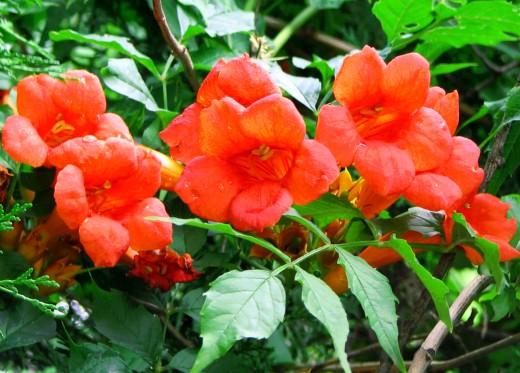 Red-orange colored trumpet vine flowers.