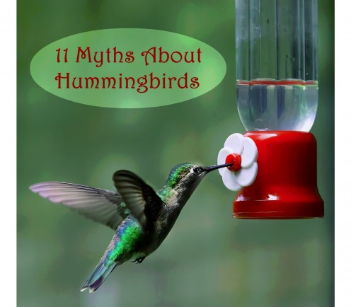 11 Myths About Hummingbirds