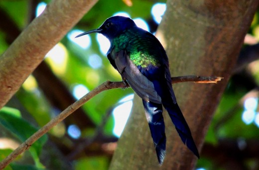 There are over 300 species of hummingbirds.
