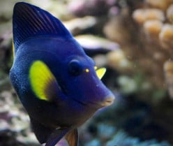Purple tang : Care And Requirements Of The Purple Tang