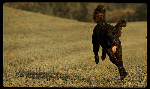 A Standard Poodle out for a run.
