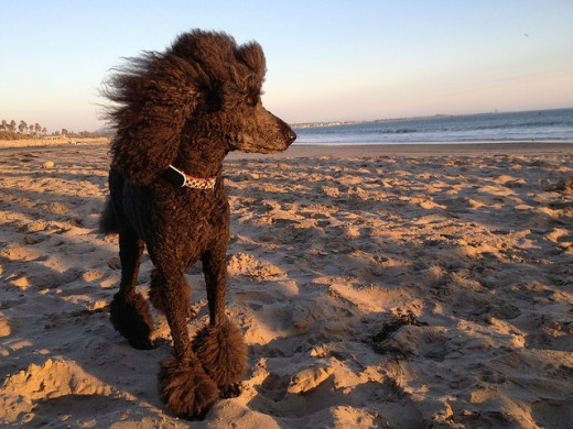 A Standard Poodle out on the beach.