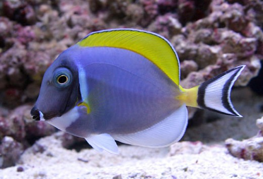 Achilles Tang Care Powder Blue Tang Care And