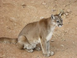 Human and Household Pet Encounters With Cougars and Bears