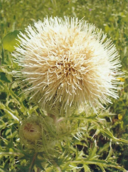 Bull Thistle in Bloom