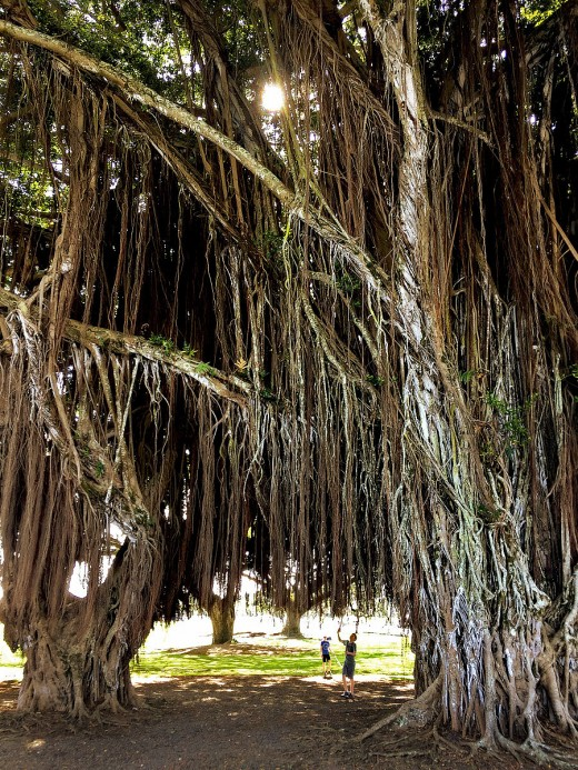 Old banyan trees near Mo'oheau Bus Station.