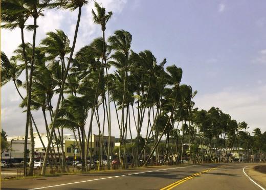 Coconut groves on Hilo bayfront.
