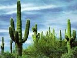 Cactus grace the desert as do the saguaro.