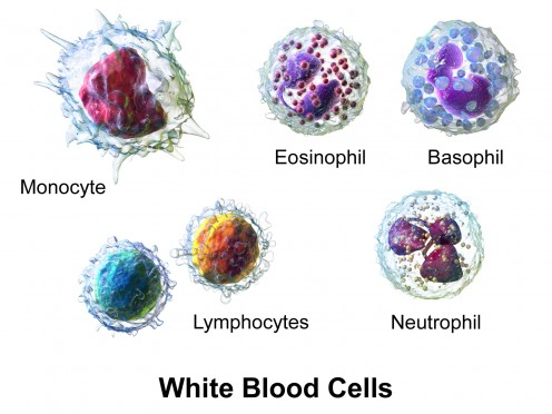 The five types of white blood cells, or leukocytes, as they might appear after a biological stain has been added