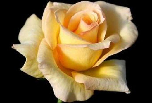 Remembering my mom with a Yellow Rose