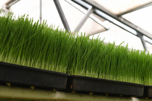 Wheatgrass is grown right onsite.