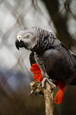 Popular African Grey Parrots