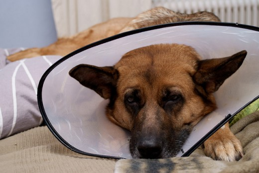 An e-collar will prevent some dogs from licking and chewing on their hot spot.